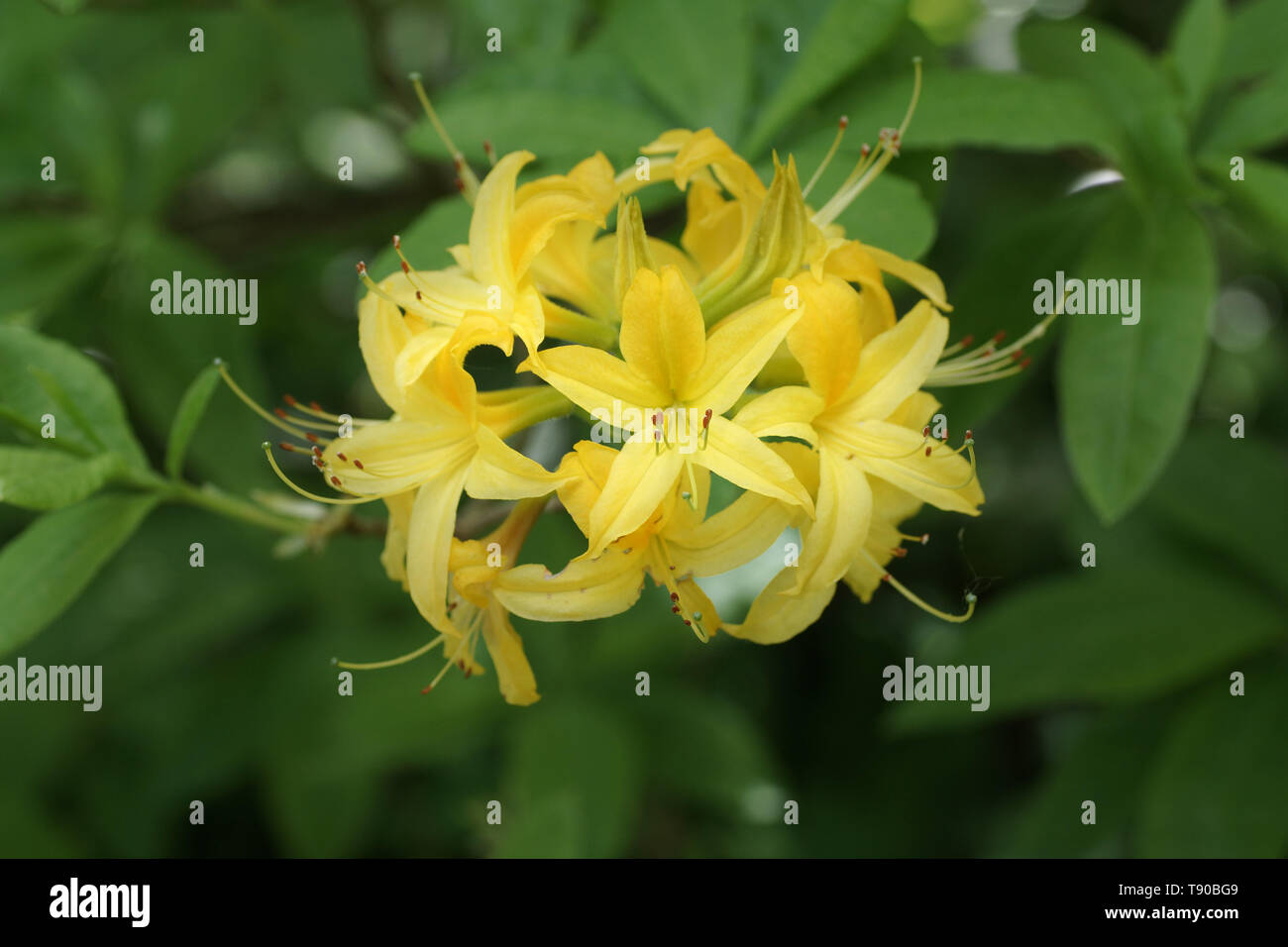 The highly fragrant flowers of Rhododendron luteum - Stock Image