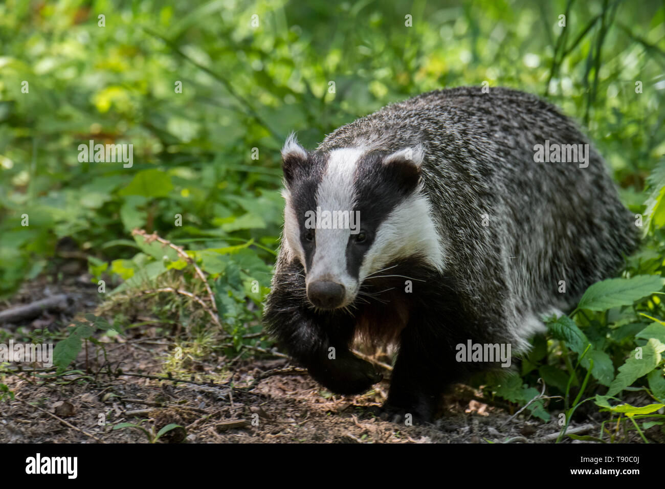 European badger (Meles meles) foraging in the undergrowth / scrub at forest edge Stock Photo