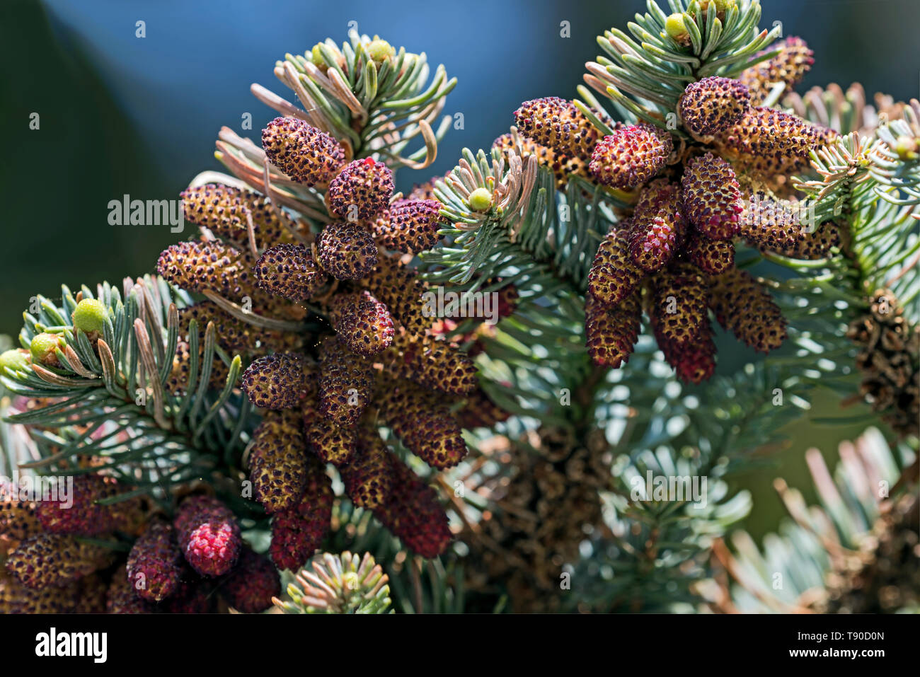 Branches of Abies cephalonica, Greek fir, bearing male flowers in the act of shedding pollen. - Stock Image