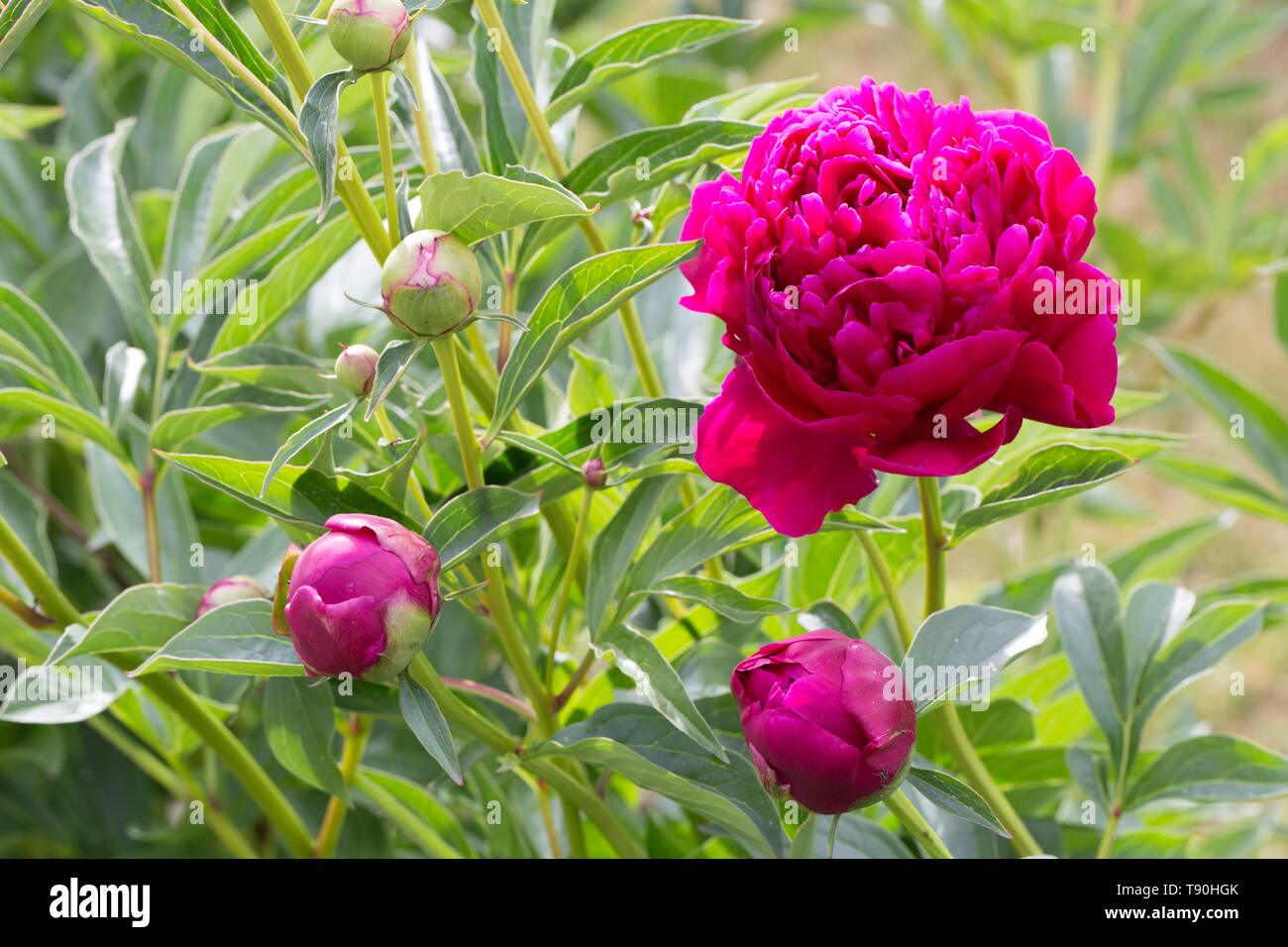 Magenta peony flower head in garden with green - Stock Image