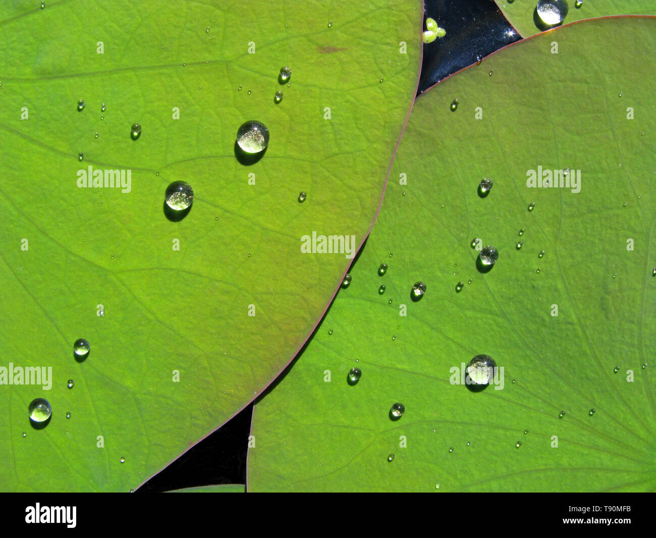 Water Drops on Lotus Leaves in Mexico - Stock Image
