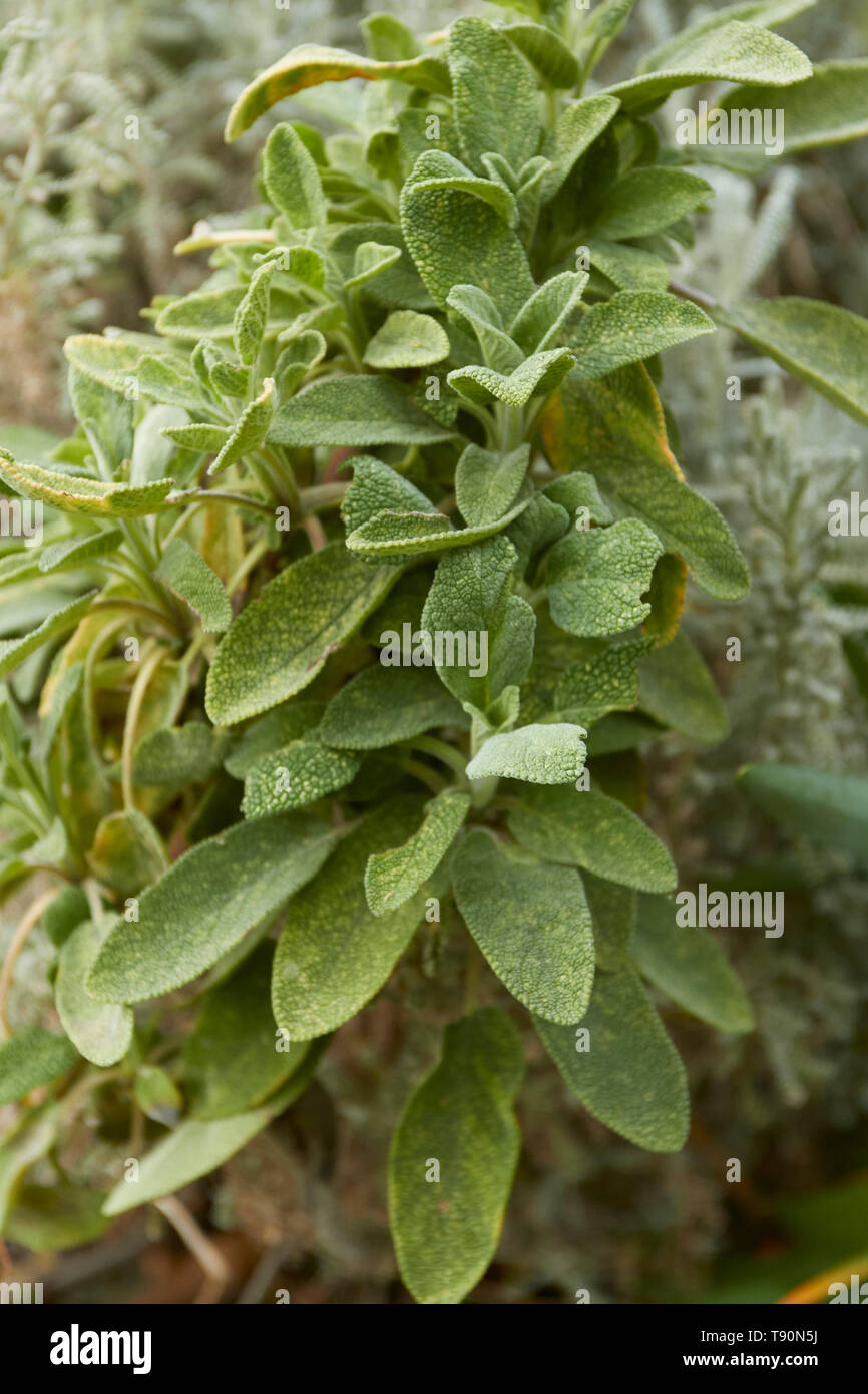 Sage growing in a London residential urban herb garden, England, United Kingdom Stock Photo