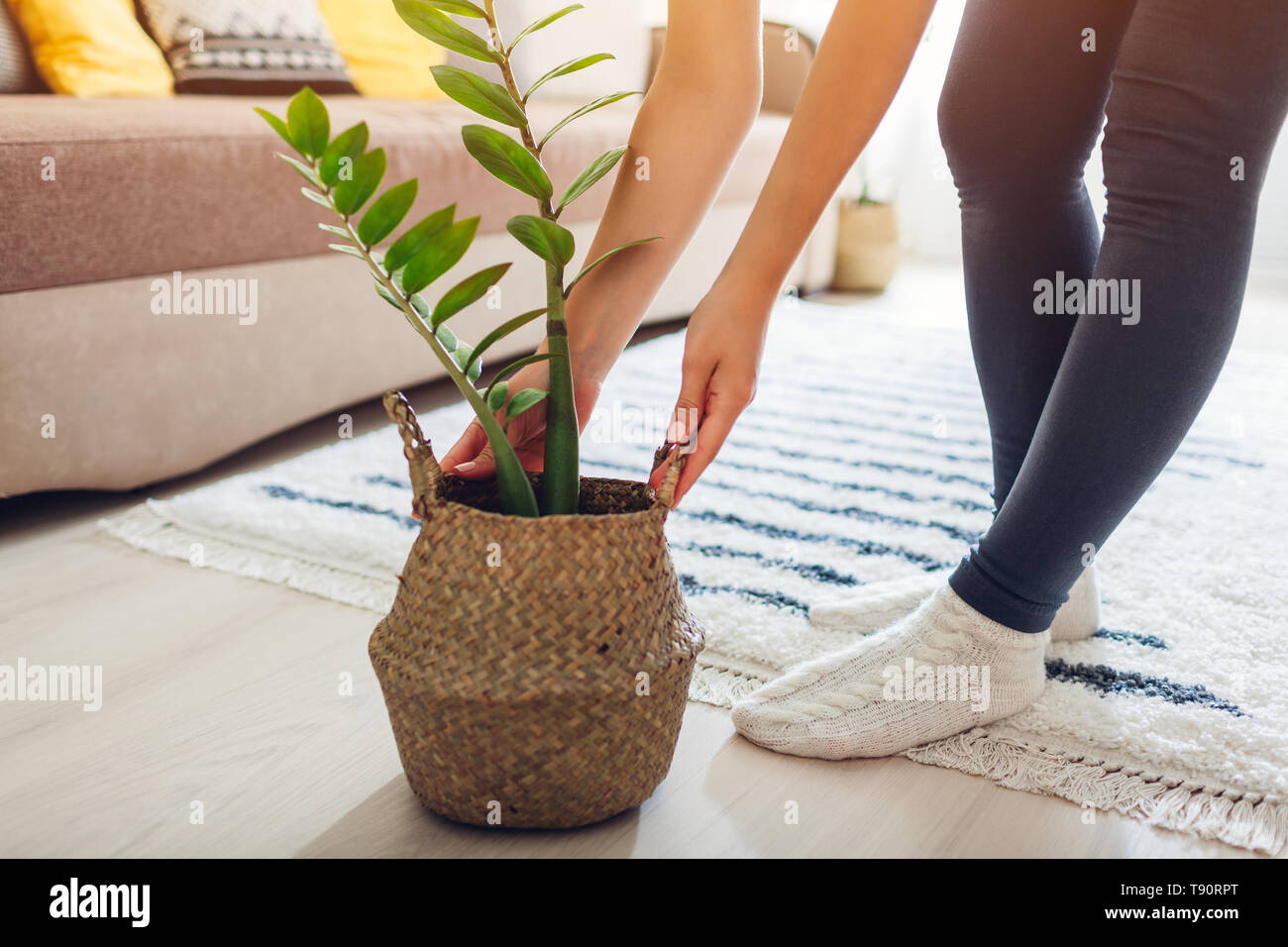 Young Woman Puts Zz Plant In Straw Basket Interior Decor Of Living Room Stock Photo Alamy
