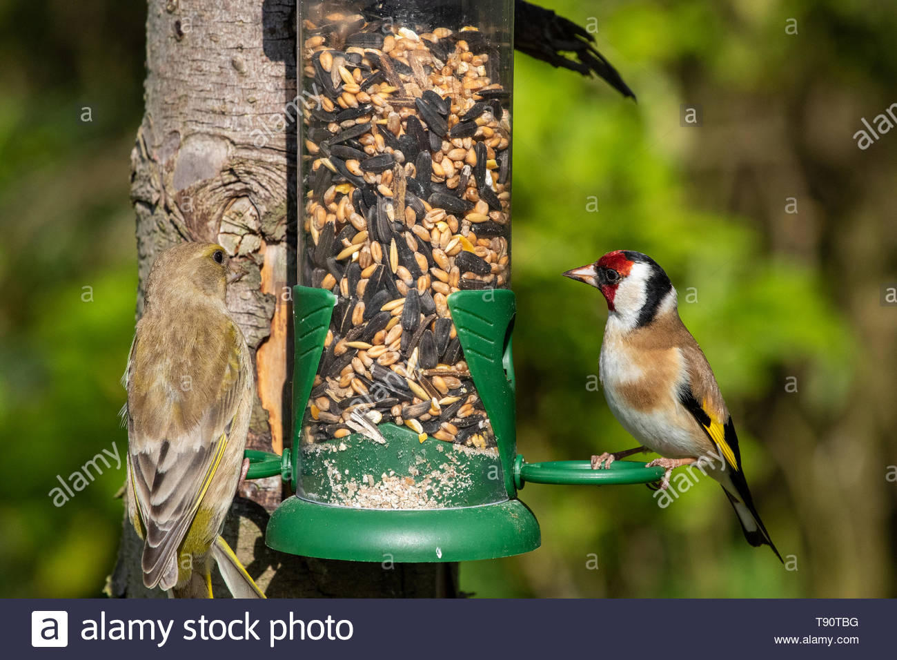 Greenfinch (Carduelis chloris) and Goldfinch (Carduelis carduelis) on garden bird feeder - Stock Image