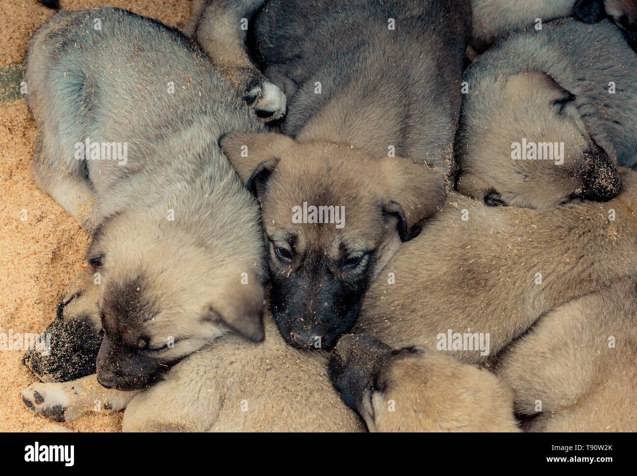 Turkish Kangal Dog Stock Photos & Turkish Kangal Dog Stock