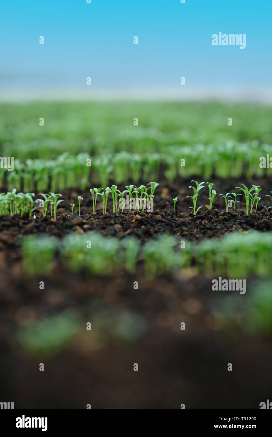 commercial greenhouse seeding. commercial seeding in greenhouse. commercial greenhouse seeding with green rows of plants. commercial greenhouse - Stock Image