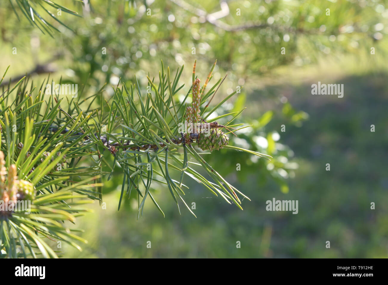 Green pine branch in the coniferous forest - Stock Image