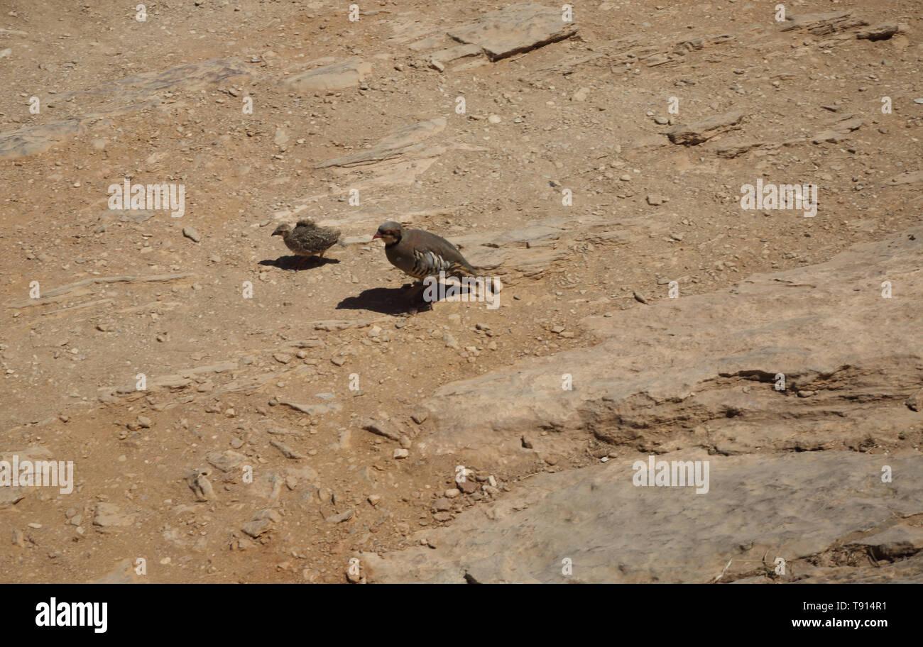 Attica Greece Cape Sounion Partridge Hens (Alectoris Chukar) Mother and Chick - Stock Image