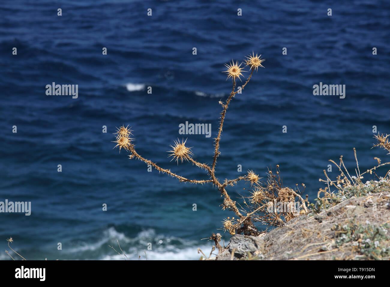 Port Korissia Kea Island Greece Dried Plants on Coastline - Stock Image