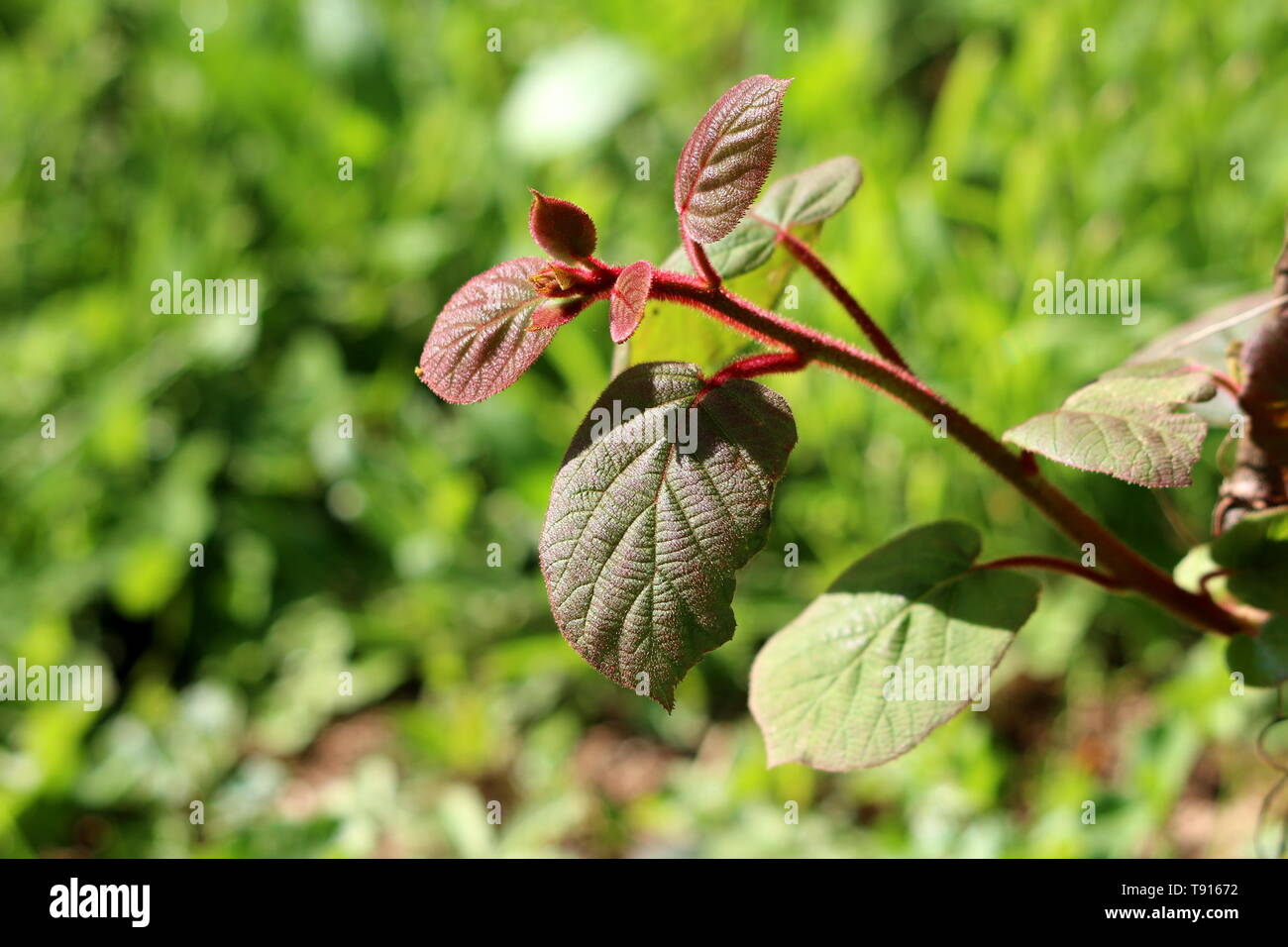 Dark green to red leathery leaves and hairy stem of Kiwi or Kiwifruit or Chinese gooseberry woody vine plant planted in local garden - Stock Image