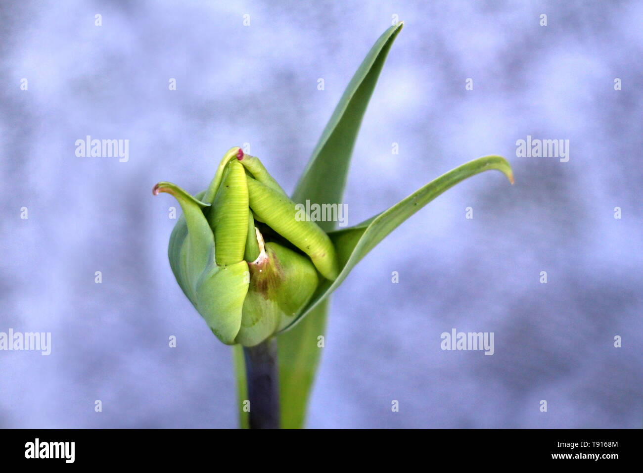 Fully closed young light green tulip flower surrounded with pointy elongated leaves on warm spring day - Stock Image