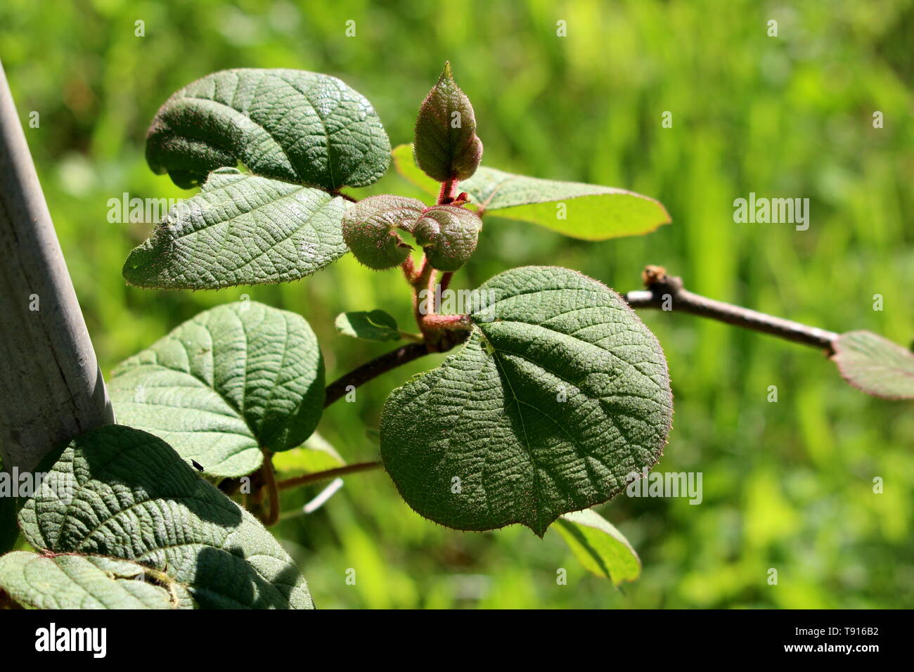 Kiwi or Kiwifruit or Chinese gooseberry woody vine plant with dark green to red leathery leaves and hairy stem planted in local garden - Stock Image