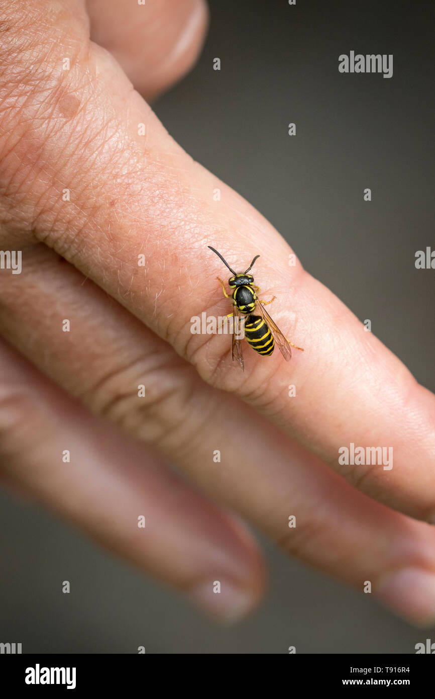 Eastern Yellow Jacket (Vespula maculifrons) on a hand, Toronto, Ontario, Canada - Stock Image