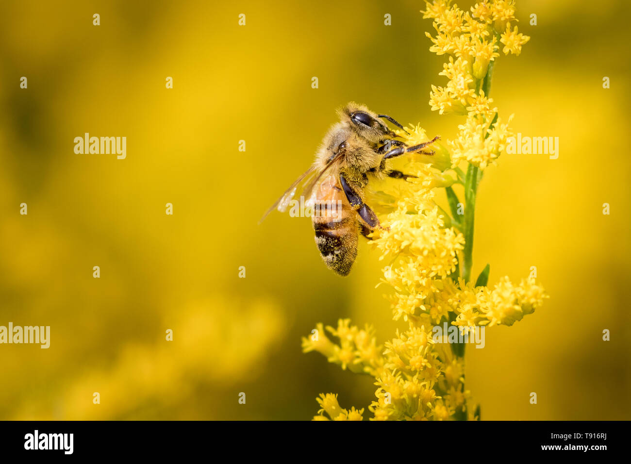 Western Honey Bee or European Honey Bee (Apis mellifera) on Goldenrod, Toronto, Ontario Canada - Honey Bees are important pollinators and honey makers but were introduced to North America - Stock Image