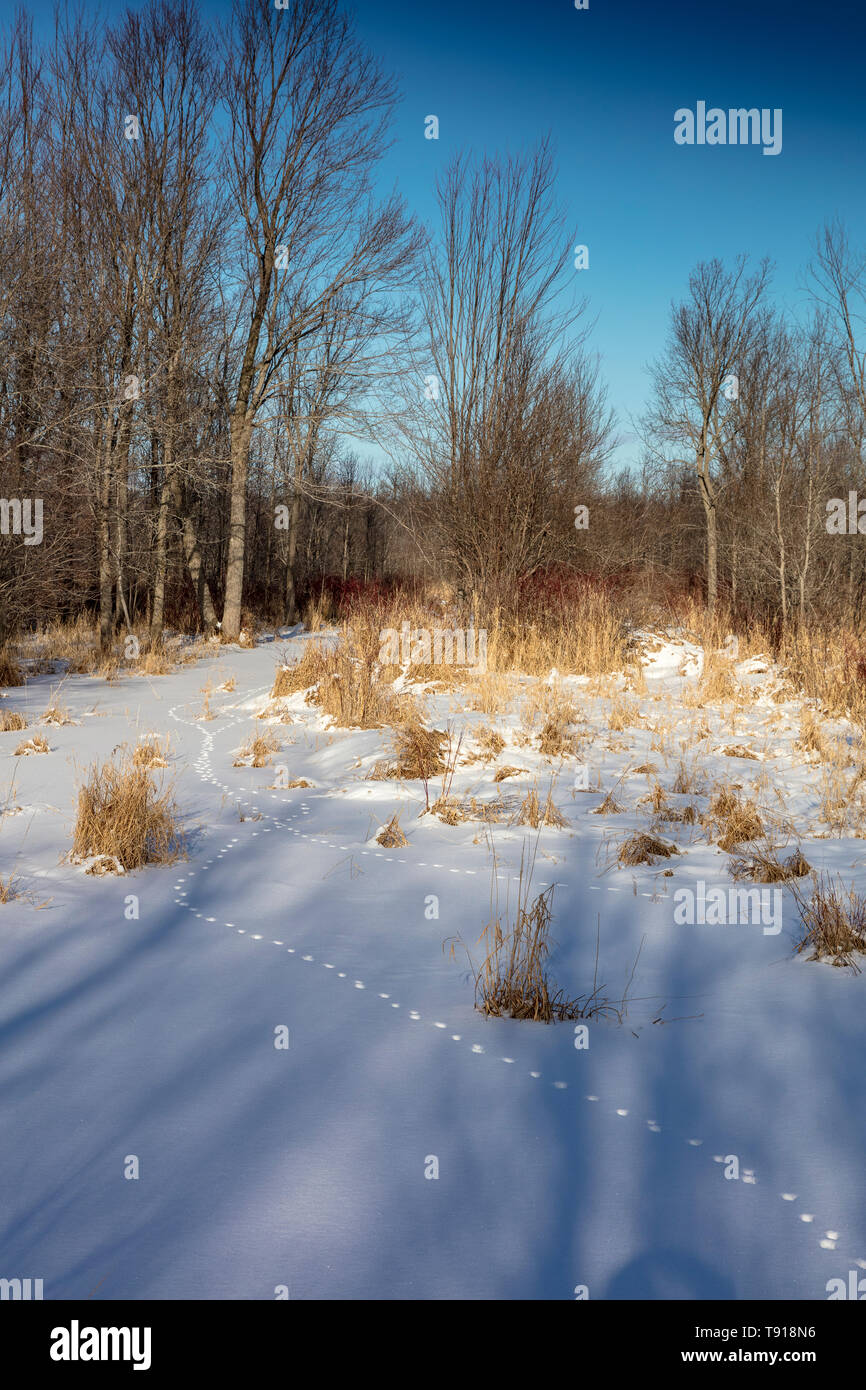 Fox tracks through the snow on Barrie Island, Manitoulin Island, Ontario, Canada - Stock Image