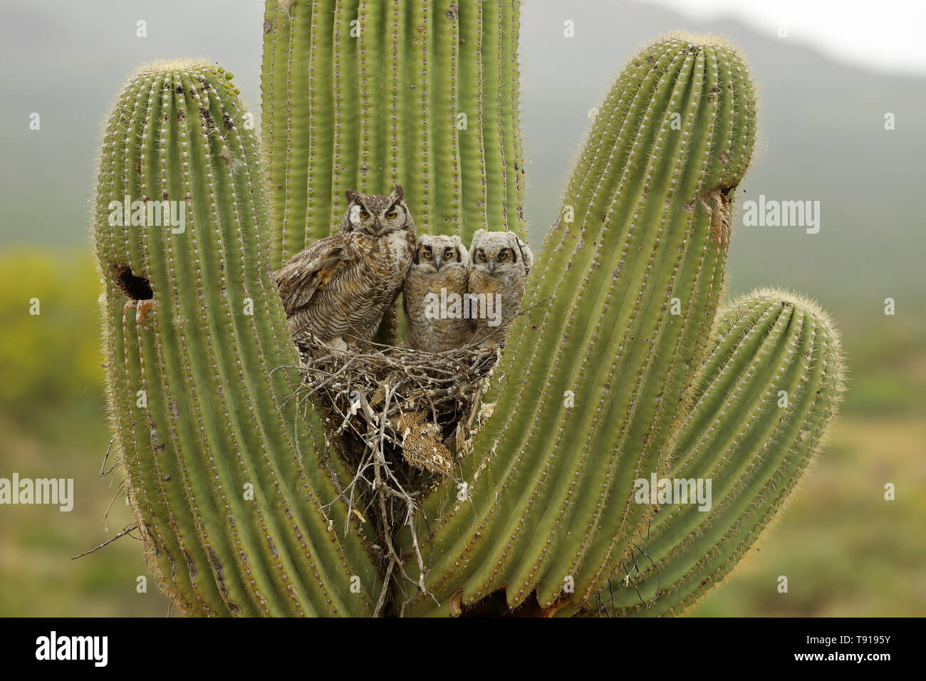 Cactus Porn Dibujo bird nesting on cactus stock photos & bird nesting on cactus