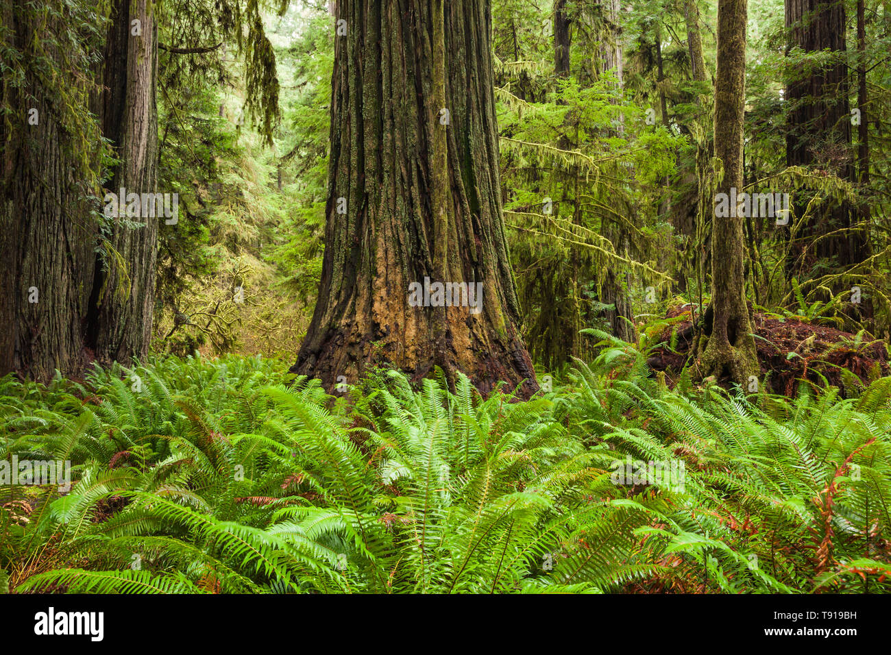 Ferns and Redwood trees. Jedediah Smith State Park, California, USA. - Stock Image