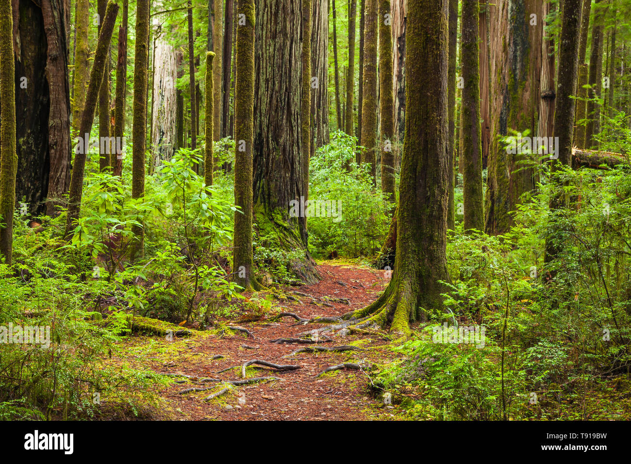 Trail through redwood forest. Jedediah Smith State Park, California, USA - Stock Image