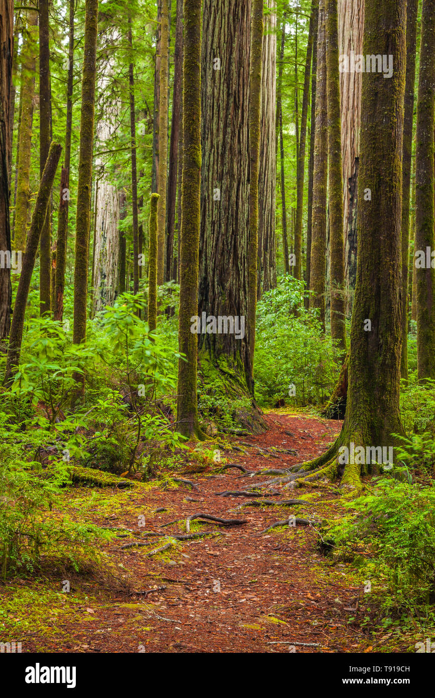 Trail through redwood forest. Jedediah Smith State Park, California, USA. - Stock Image