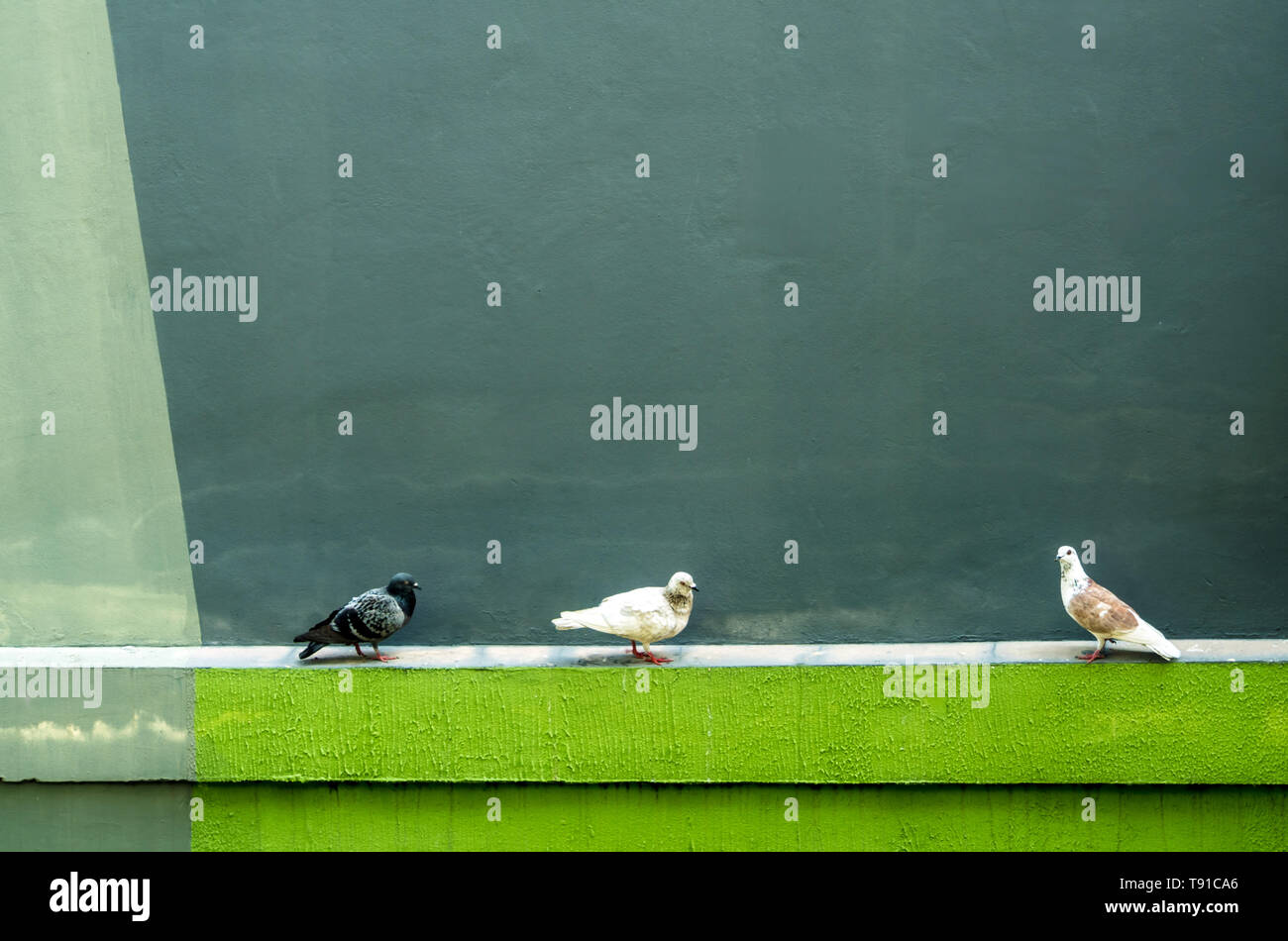 Three Pigeons resting on the concrete moulding beside the building - Stock Image