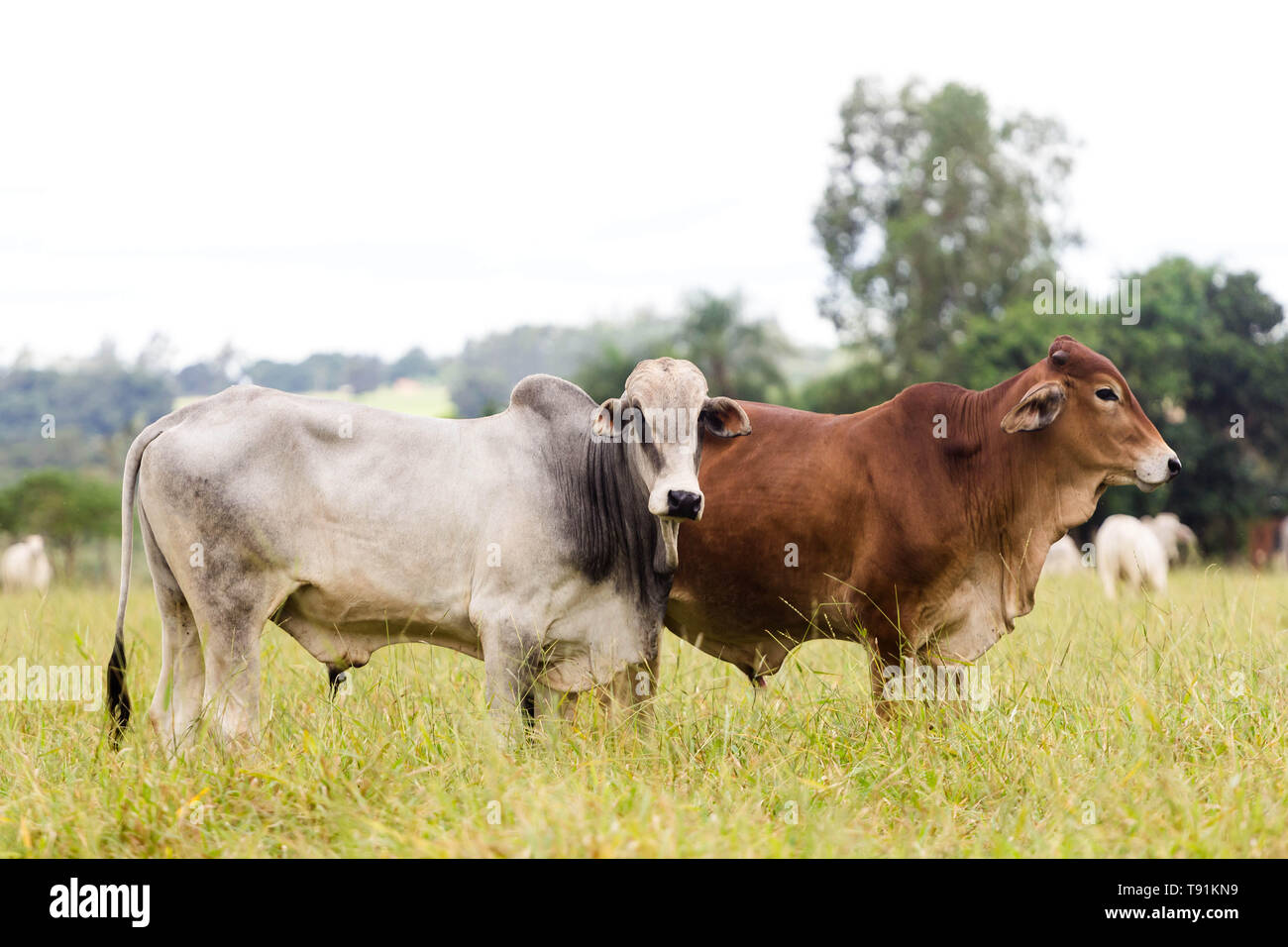 May 14, 2019 - GlÌ?Ria De Dourados, Mato Grosso do Sul, Brazil - Cattle seen on a farm in Brazil.Livestock farming has a great relevance in Brazilian exports, in addition to supplying the domestic market. It is an economic activity developed in rural areas.Agriculture in Brazil is one of the main bases of the country's economy. Agriculture is an activity that is part of the primary sector where the land is cultivated and harvested for subsistence, export or trade. Credit: Rafael Henrique/SOPA Images/ZUMA Wire/Alamy Live News Stock Photo