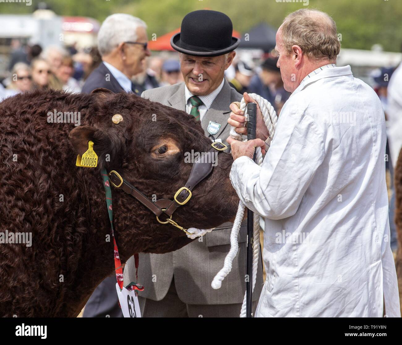 Exeter, Devon, UK. 16th May 2019 Judges take a look at the local Ruby Red Devon cattle in the showring on the first day of the Devon County Show, at the Westpoint Showground, Exeter Credit: Photo Central/Alamy Live News Stock Photo