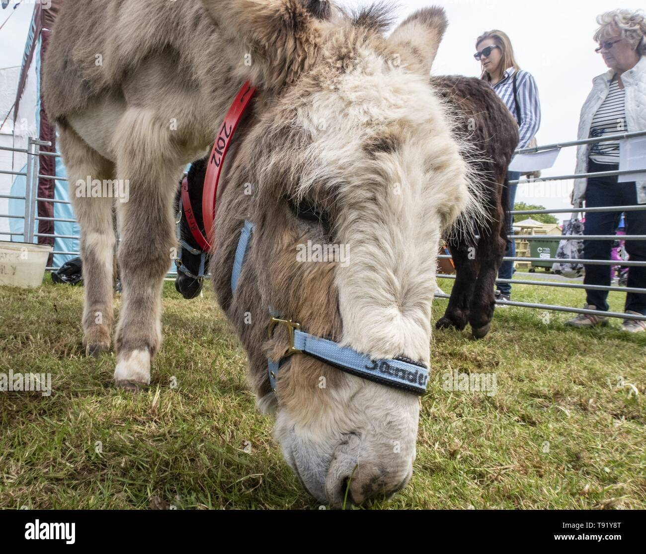 Exeter, Devon, UK. 16th May 2019 Donkeys from the Sidmouth Donkey Santuary on show on the first day of the Devon County Show, at the Westpoint Showground, Exeter Credit: Photo Central/Alamy Live News Stock Photo
