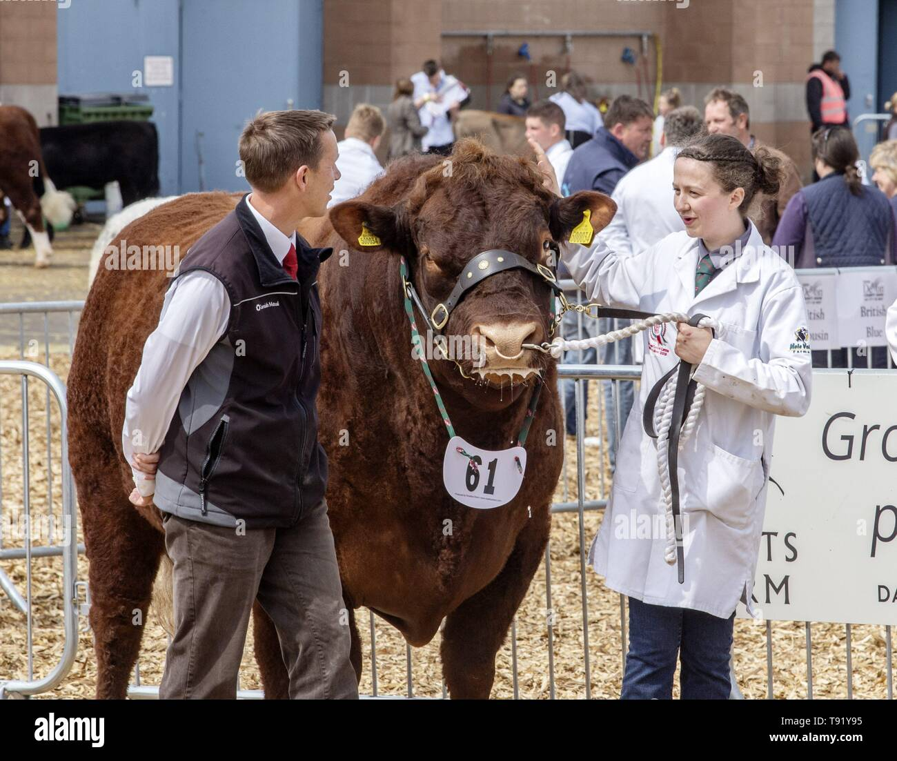 Exeter, Devon, UK. 16th May 2019 Ruby Red Devon cattle in the showring on the first day of the Devon County Show, at the Westpoint Showground, Exeter Credit: Photo Central/Alamy Live News Stock Photo
