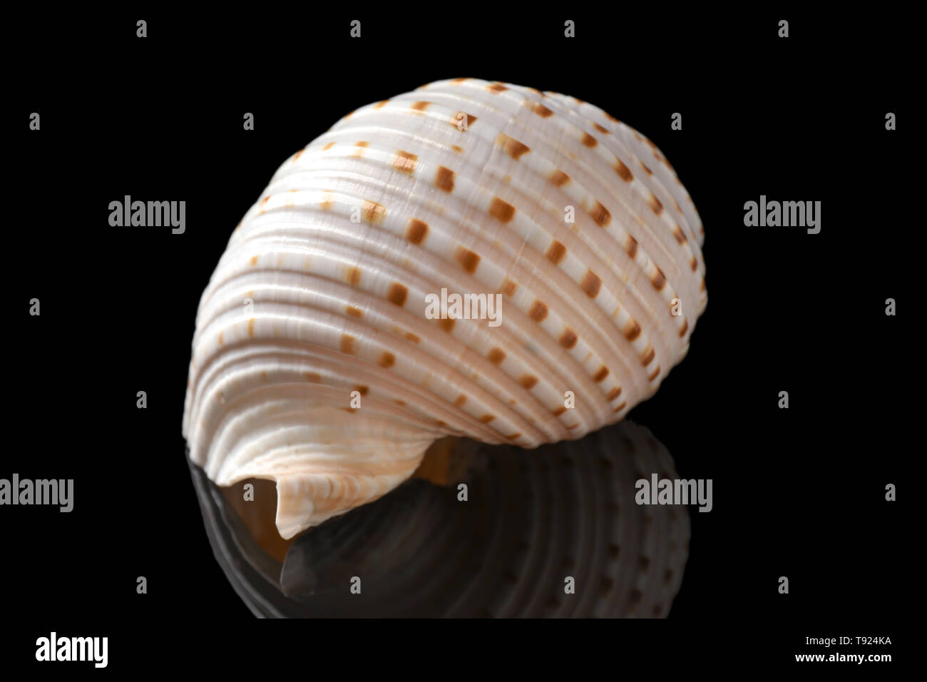 Beautiful sea shell on dark background - Stock Image
