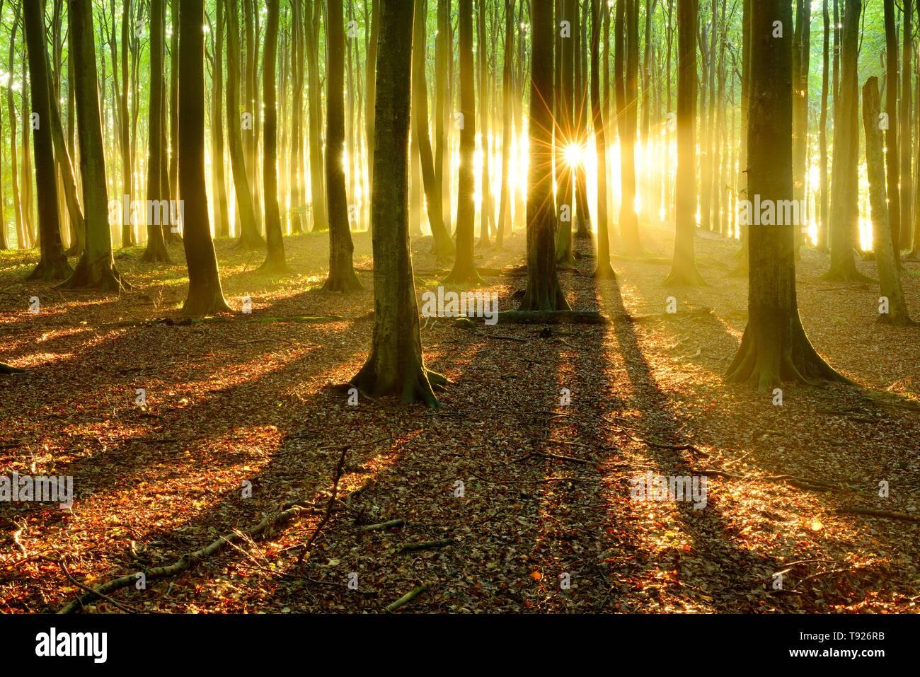 Sun shines brightly through natural beech forest (Fagus sp.), Stubnitz, Jasmund National Park, island Rugen, Mecklenburg-Western Pomerania, Germany - Stock Image