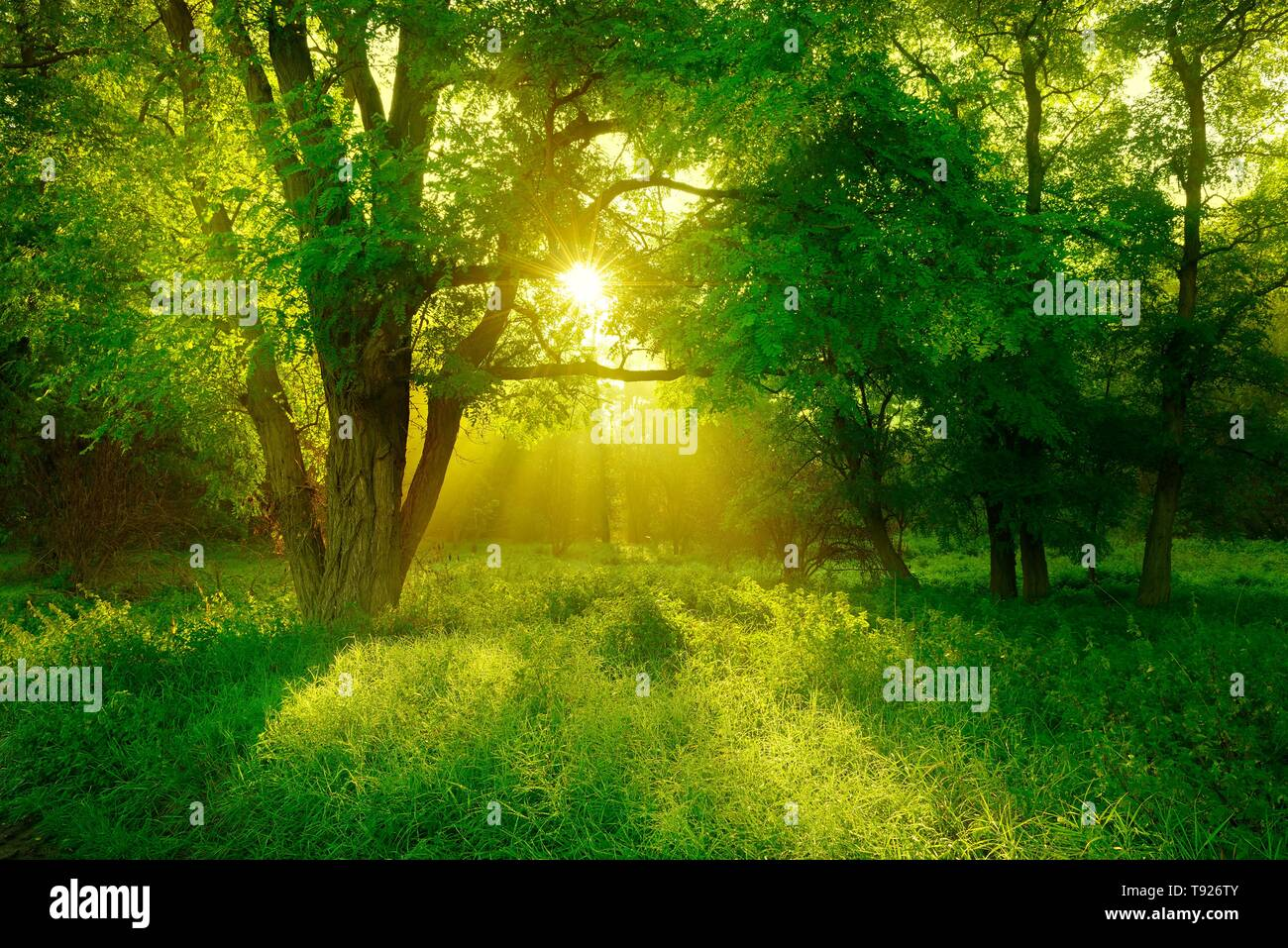 Morning atmosphere in the forest, sun shines through trees, Black locust (Robinia pseudoacacia) on clearing, Lower Saale Valley Nature Park - Stock Image