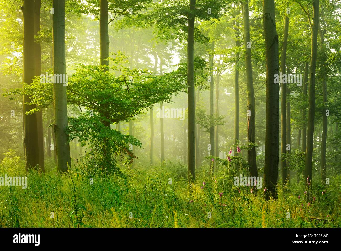 Sun shines through light spruce forest, soil overgrown with moss and fern, mountain range Deister, Lower Saxony Highlands, Niedersachsen, Germany - Stock Image