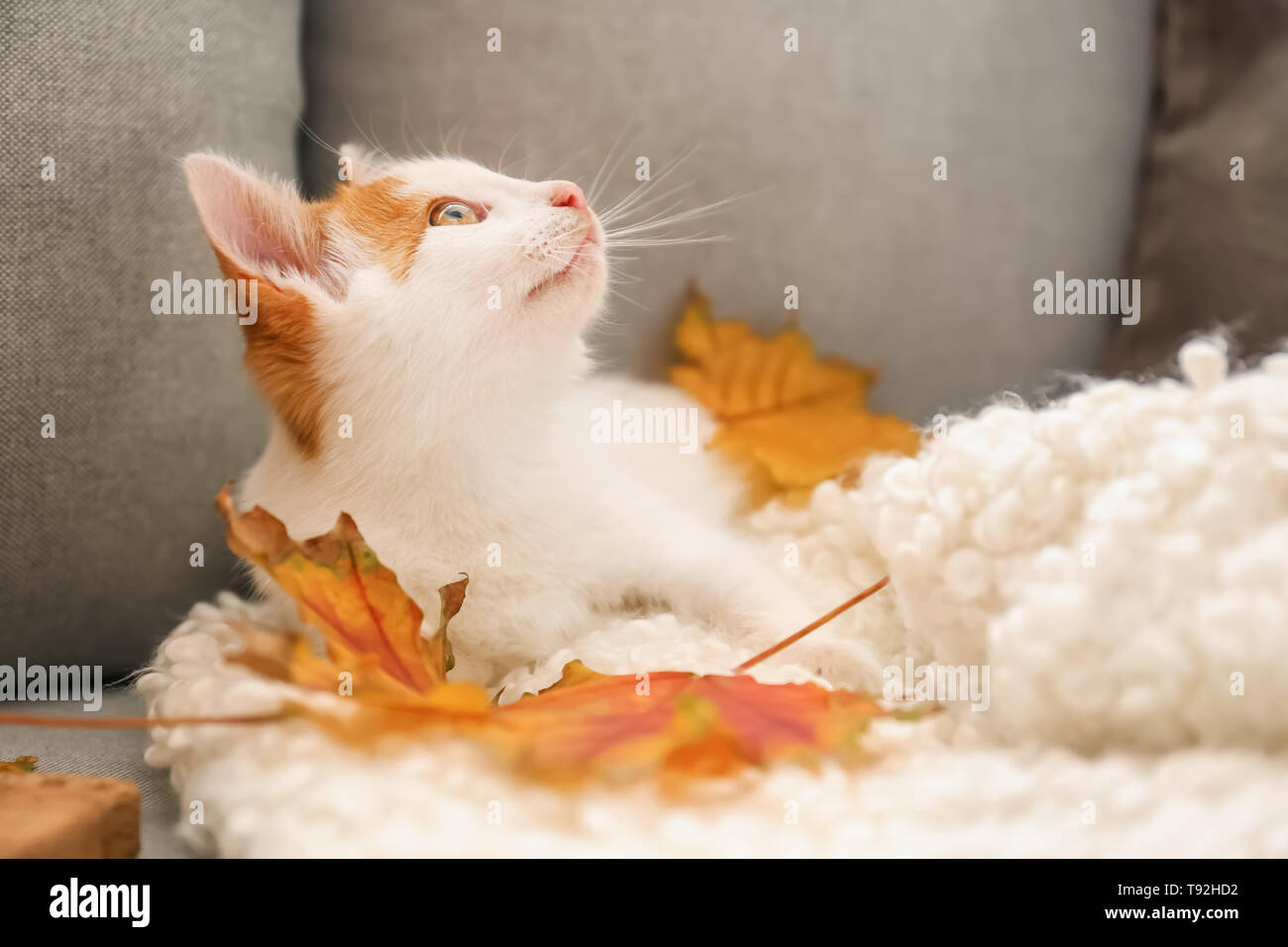 Cute little kitten with autumn leaves on sofa at home Stock Photo