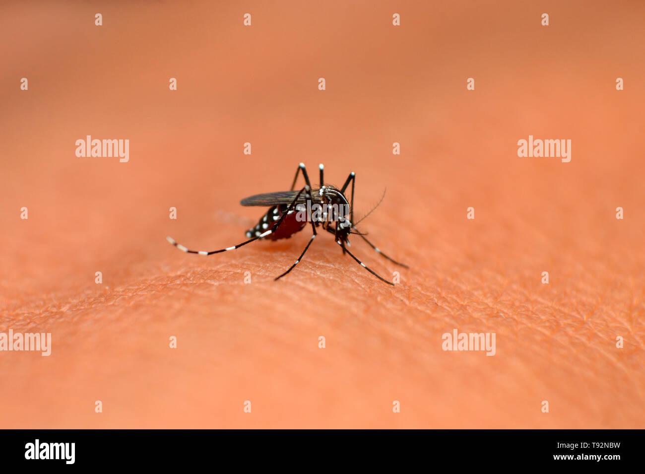 Asian tiger mosquito, Aedes albopictus, Mahabaleshwar, Maharashtra, India. - Stock Image