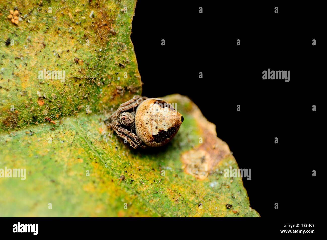 Erovixia sp, Araneidae, Satara, Maharashtra, India. - Stock Image