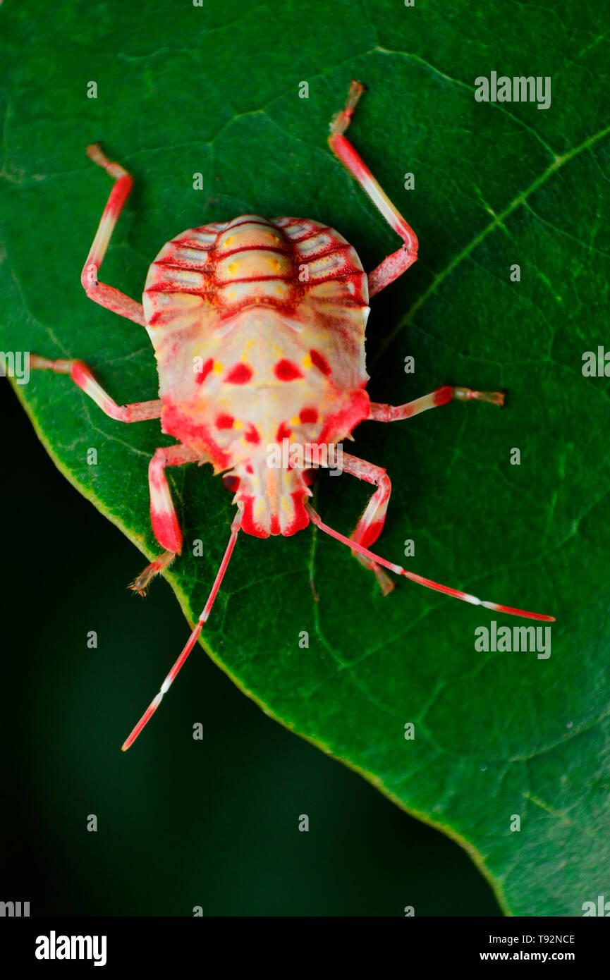 Freshly moulted stink bug, Pentatomidae, Satara, Maharashtra, India. - Stock Image