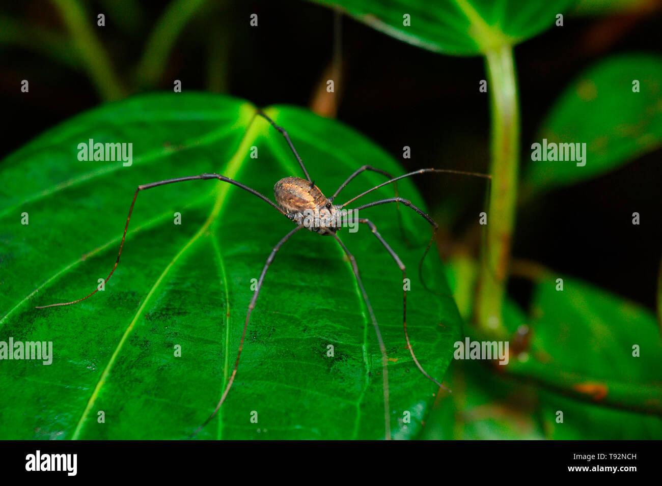 Harvestman spider, Ophilion, Satara, Maharashtra, India. - Stock Image