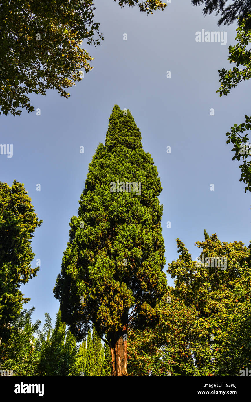 Green pine trees at deep forest in Tbilisi, Georgia. - Stock Image