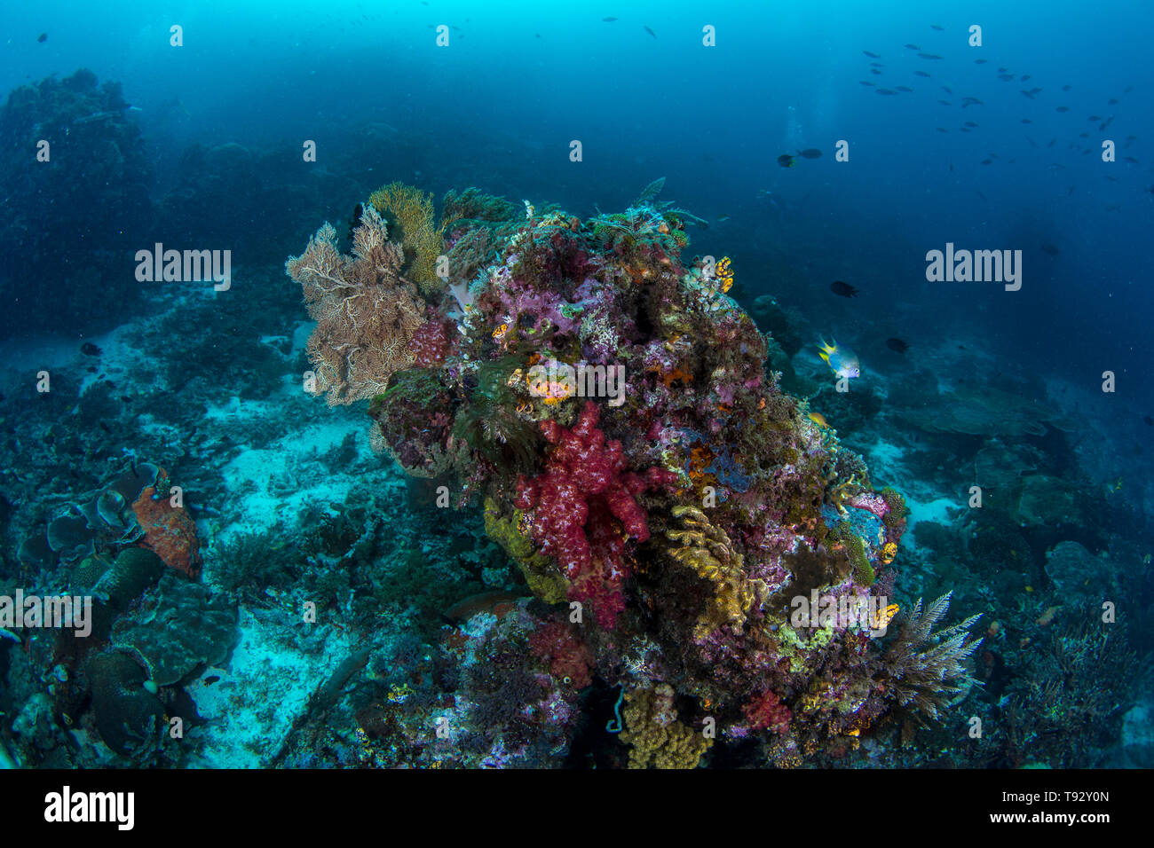Rock covered with soft coral, Raja Ampat, West Papua, Indonesia. - Stock Image
