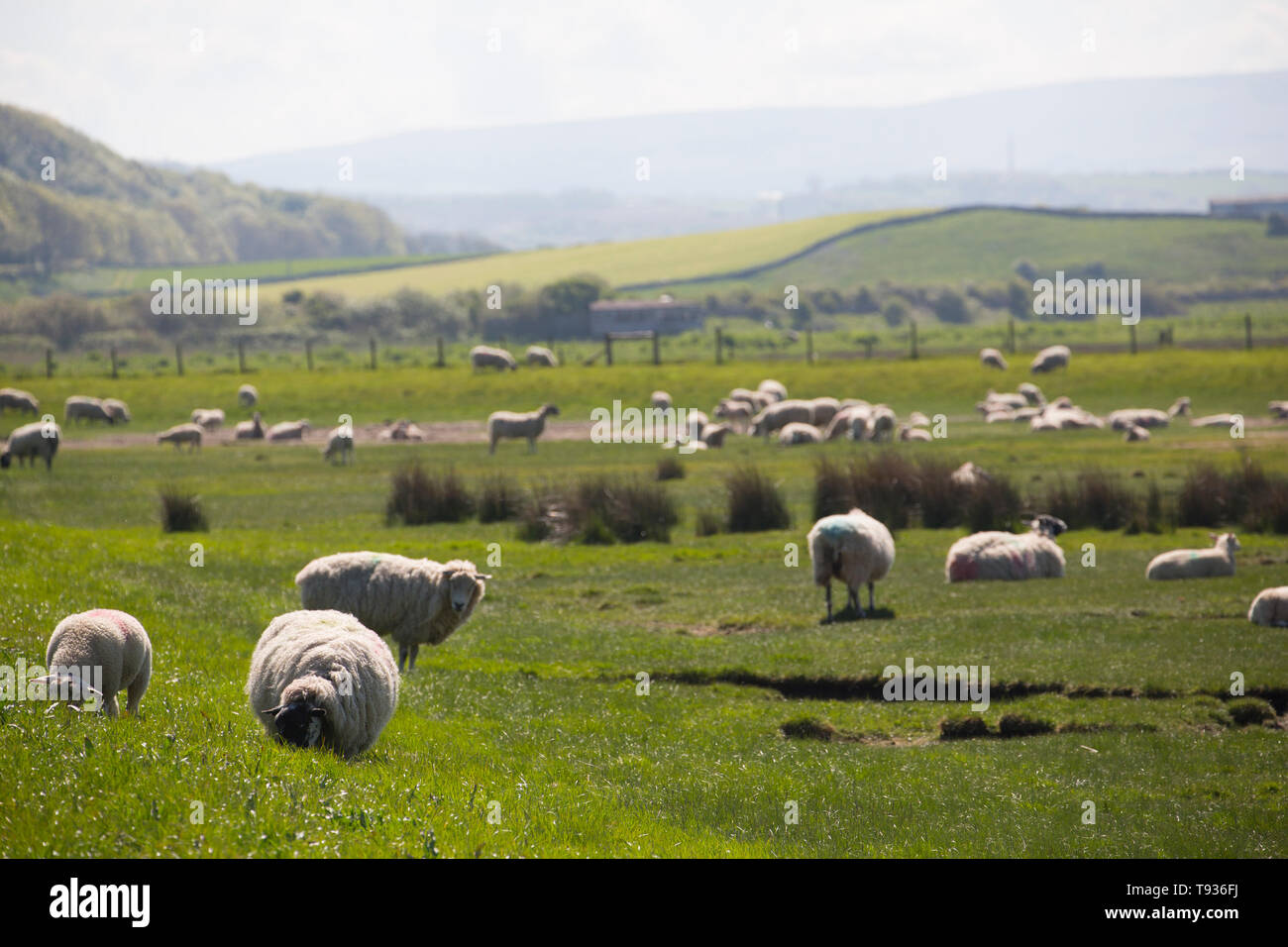 Sheep and their lambs grazing on tidal salt marshes close to Jenny Brown's Point near the village of Silverdale on the edge of Morecambe Bay. Lancashi - Stock Image