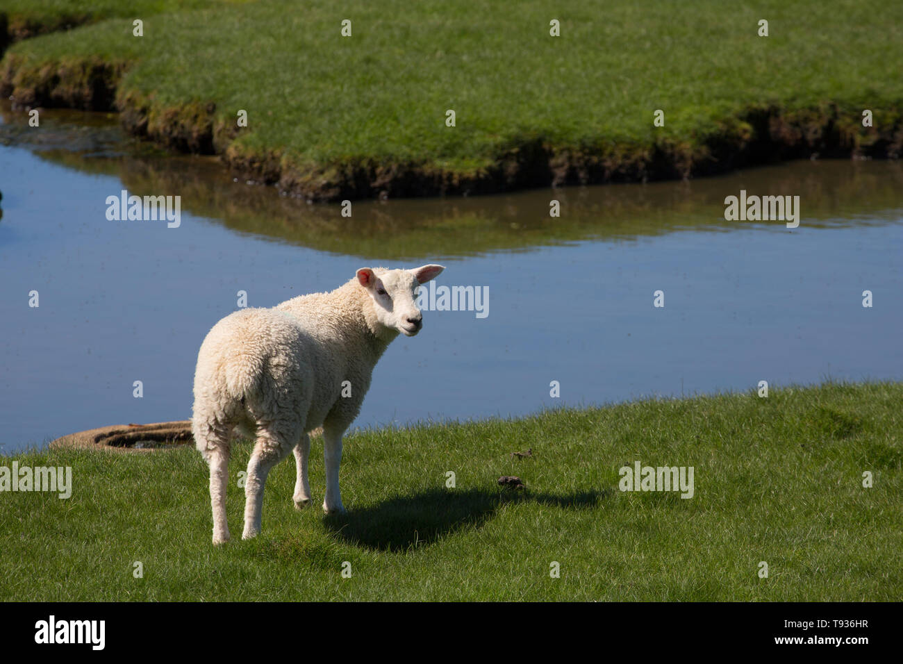 A lamb next to a pool on tidal salt marshes close to Jenny Brown's Point near the village of Silverdale on the edge of Morecambe Bay. Lancashire North - Stock Image