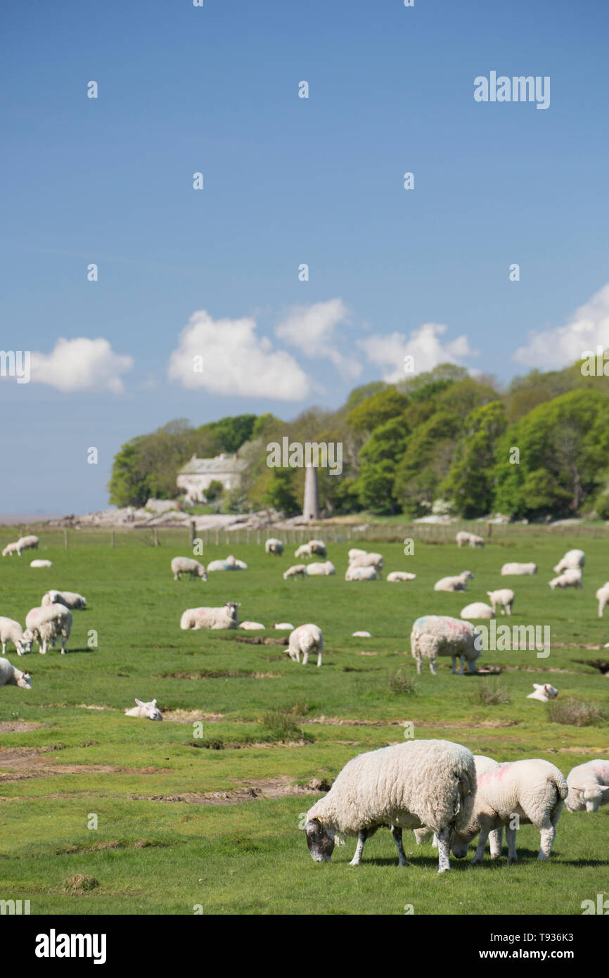 Sheep and their lambs grazing on tidal salt marshes close to Jenny Brown's Point, which can be seen in the distance, near the village of Silverdale on - Stock Image