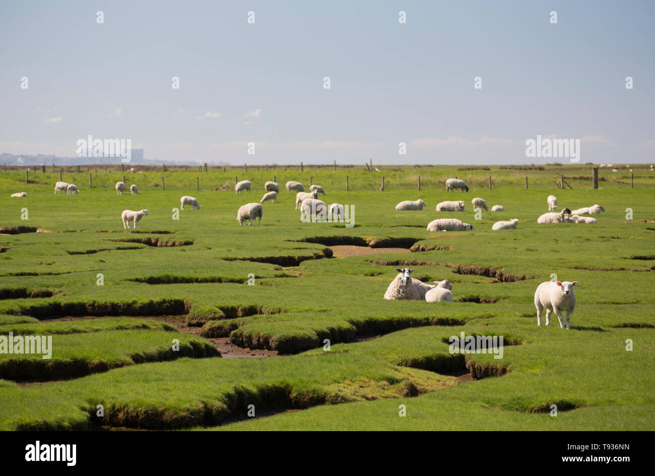 Sheep and their lambs grazing on tidal salt marshes close to Jenny Brown's Point near the village of Silverdale on the edge of Morecambe Bay. Heysham  - Stock Image