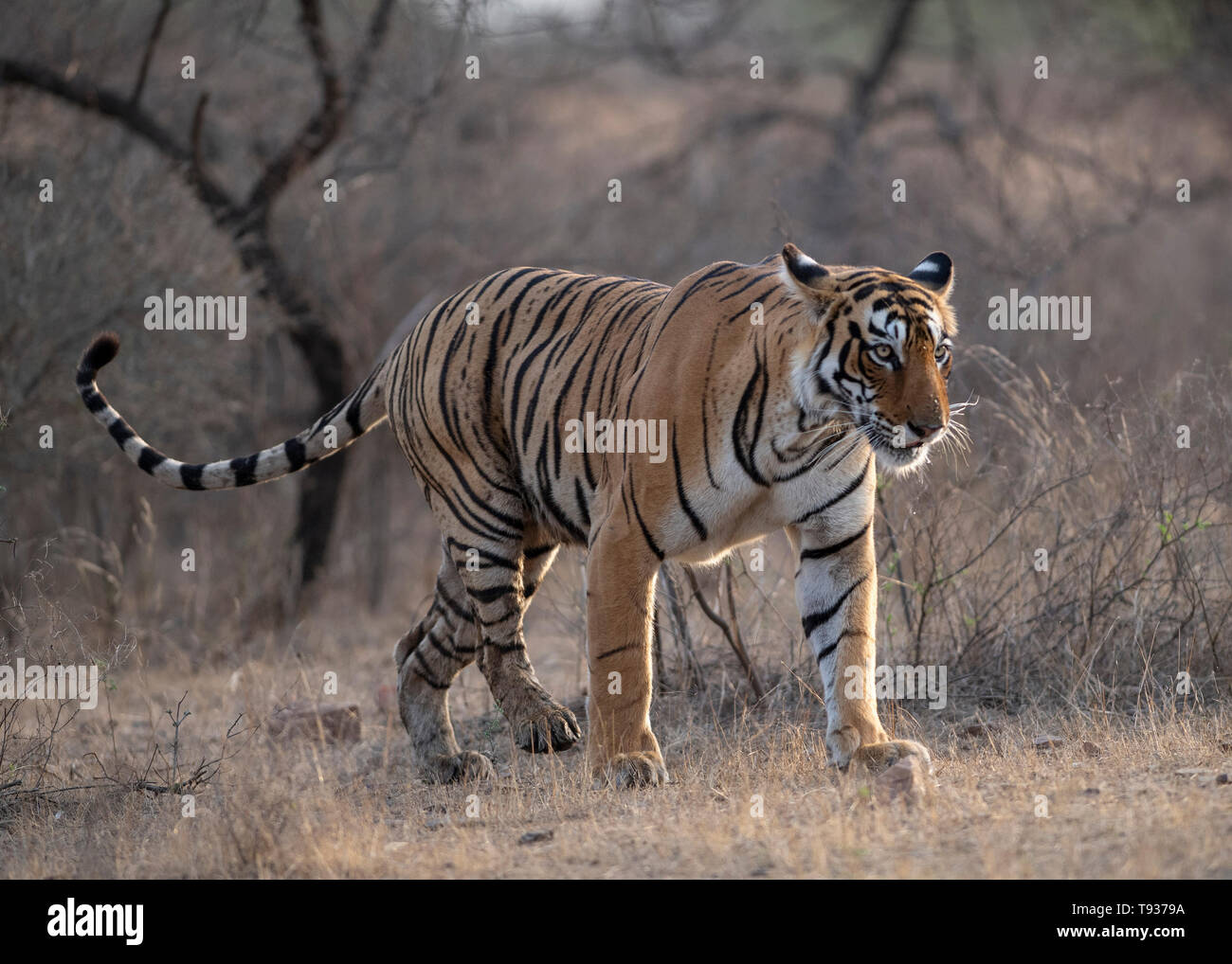 Tigress T-84 Arrowhead - Stock Image