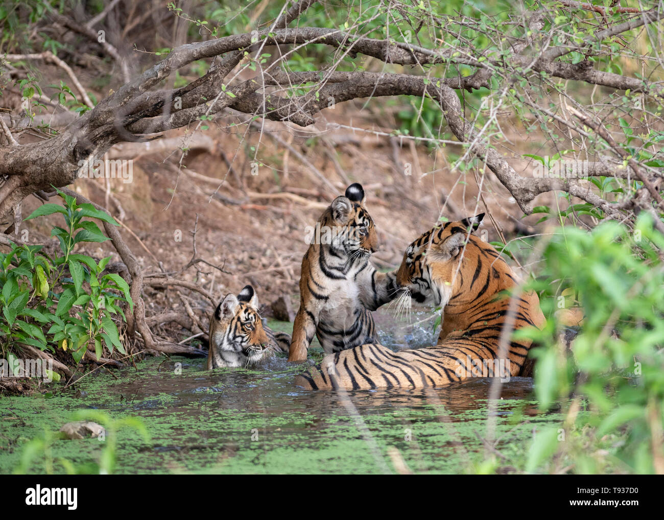Tigress T-84 Arrowhead with her six month old cubs in the water together - Stock Image