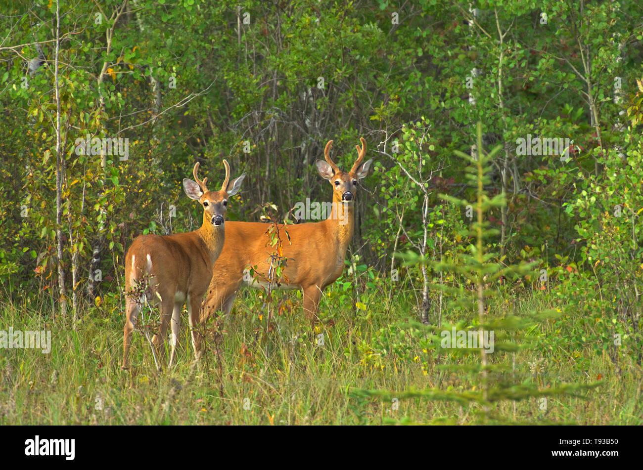 White-tailed deer (Odocoileus virginianus) bucks at edge of aspen parkland forest Fairford River, Canada - Stock Image