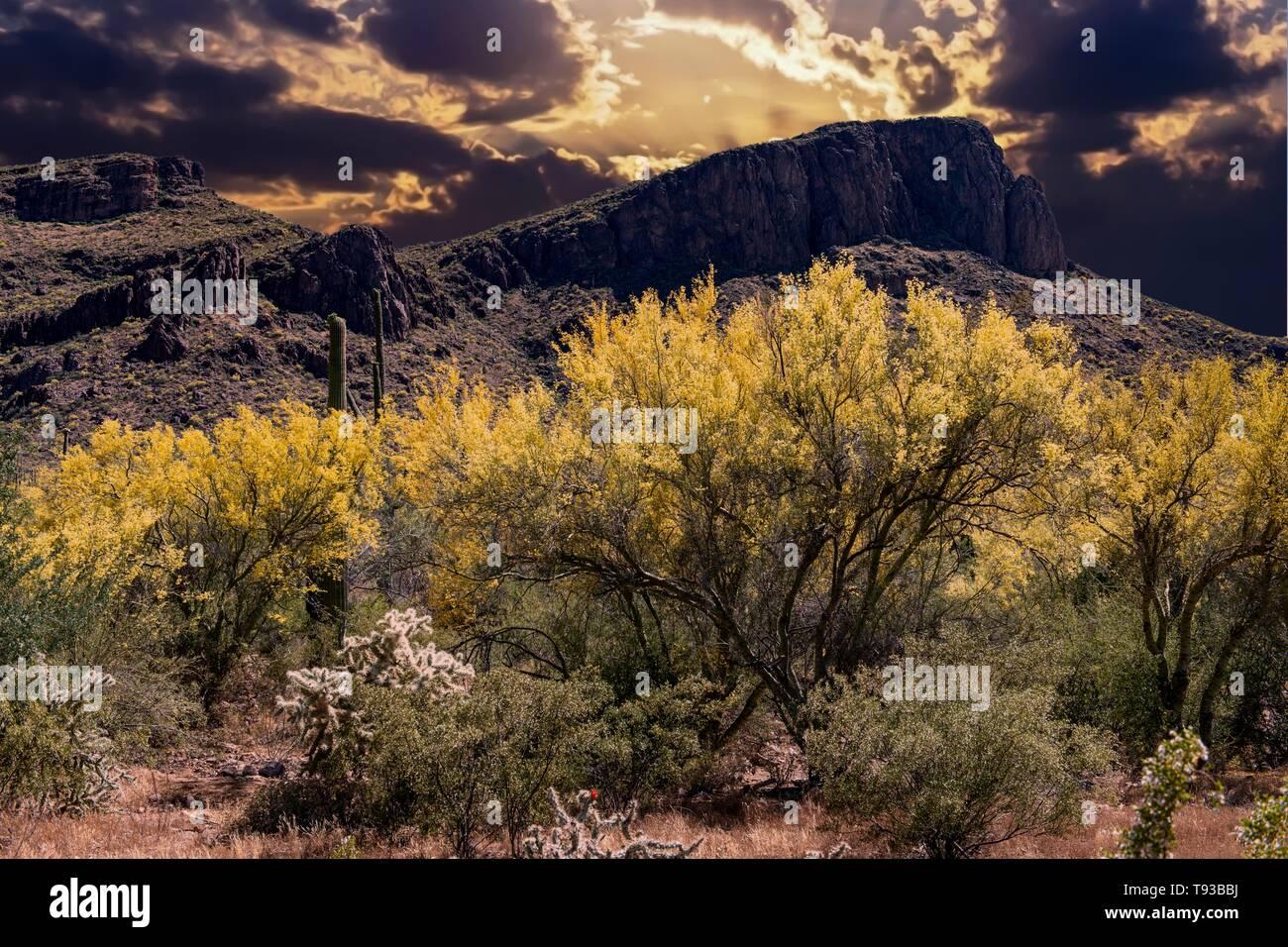 Foothill Paloverde (Parkinsonia microphylla) in bloom in Arizona Sonoran Desert - Stock Image