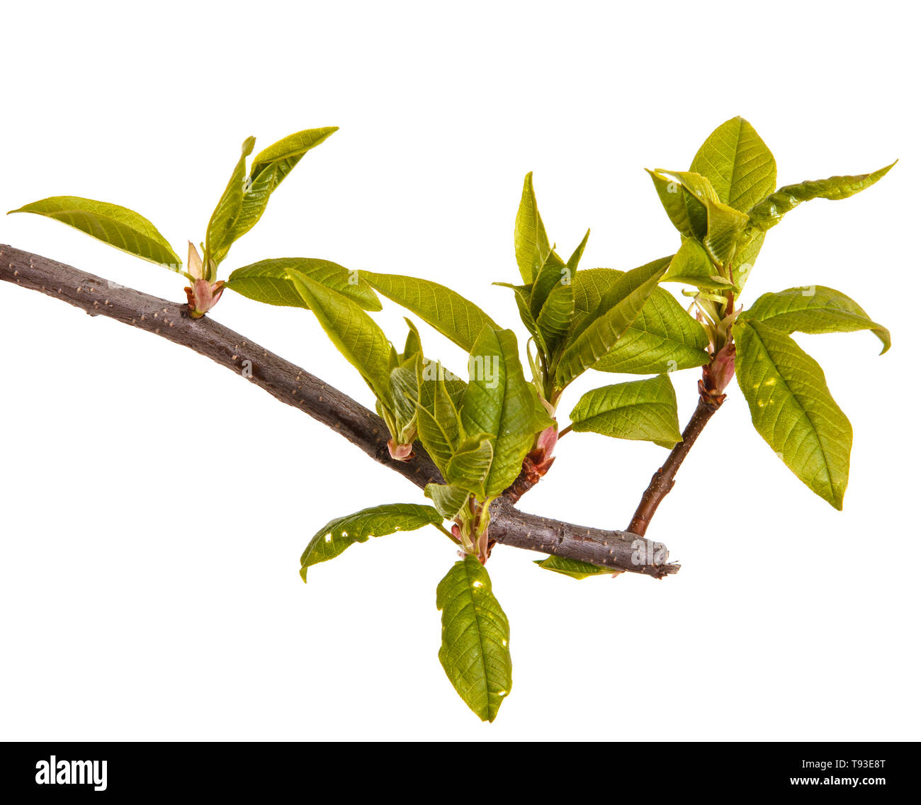A Bird Cherry Branch With Young Green Leaves Isolated On