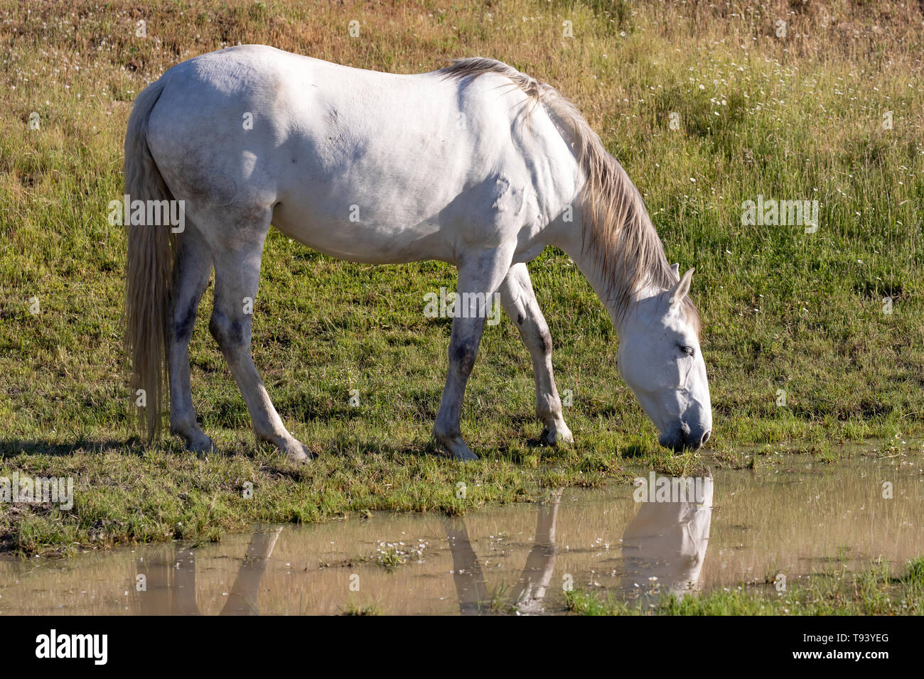 Beautiful white horse drinking in a river - Stock Image