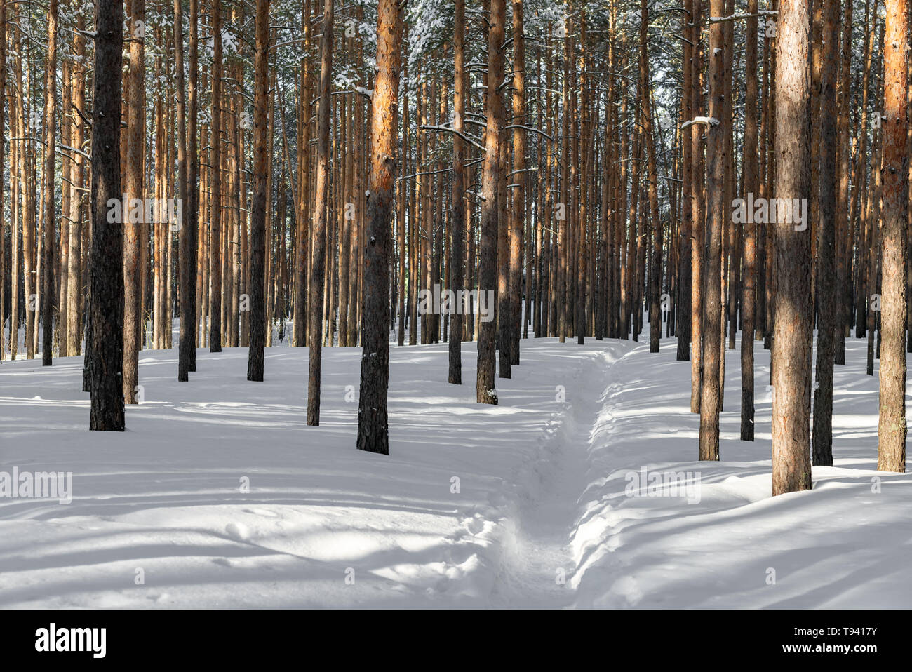 Beautiful winter forest with ski track. Tall snow covered pines in sunny weather. Wonderful place for relax and weekend. Winter fairytale - Stock Image